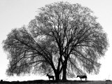 A Pair of Horses Stake out Spots Under the Young Leaves of a Shade Tree Near Sparta Lámina fotográfica