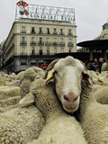 Hundreds of Sheep are Driven Along Sol Square During the Annual Parade Through Madrid Photographic Print