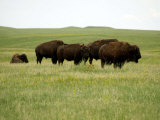 American Bison Rest on a Fenced Prairie Photographic Print