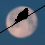 A Mourning Dove Sits Atop a Utility Wire as the Full Moon Sets Over Grand Isle Photographic Print