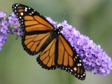 A Monarch Butterfly Spreads its Wings as It Feeds on the Flower of a Butterfly Bush Lámina fotográfica