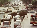 Thai Elephants Maneuver Their Way Through a Bangkok Traffic Jam in Downtown Lámina fotográfica
