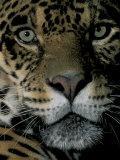 Jaguar, Madre de Dios, Peru Photographic Print by Andres Morya