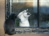Separated by a Pane of Glass, a White Cat Tries to Play with a Black Cat Fotografie-Druck
