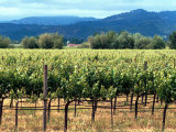 The Vineyards of Beaulieu Vineyards Photographic Print