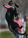 A Small Black Labrador Retriever Leaps for a Soft Frisbee Photographic Print