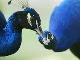 Male Peacocks Interact on a Farm in Mombasa, Kenya Photographie