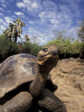 Giant Tortoise on Galapagos Islands, Ecuador Photographic Print by Stuart Westmoreland