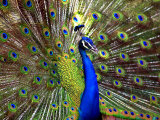 A Peacock Spreads its Feathers at the Alipore Zoo Lámina fotográfica