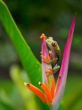 Red-Eye Tree Frog, Costa Rica Photographie par Keren Su