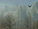 A Bald Eagle Flies Through the Mist High Above the Skagit River Fotodruck