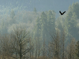 A Bald Eagle Flies Through the Mist High Above the Skagit River Lámina fotográfica