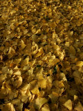 Ginkgo Leaves Cover the Ground at the Morton Arboretum Photographic Print