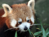 Red Panda, Taronga Zoo, Sydney, Australia Photographic Print by David Wall