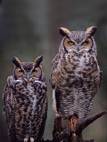 Great Horned Owls, Washington, USA Fotoprint van Charles Sleicher