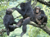 Male Chimpanzee Grooms His Brother, Gombe National Park, Tanzania Photographic Print by Kristin Mosher