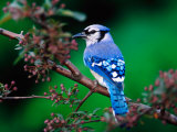 Blue Jay Photographic Print by Adam Jones