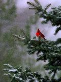 A Bright Red Cardinal Fotografie-Druck
