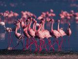 Lesser Flamingo, Kenya Fotografie-Druck von Dee Ann Pederson