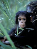 Infant Chimpanzee, Gombe National Park, Tanzania Photographie par Kristin Mosher