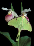 Luna Moths on Showy Lady Slipper, Wilderness State Park, Michigan, USA Photographic Print by Claudia Adams