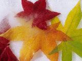 Frozen Maple Tree Leaves Photographic Print by Daisy Gilardini