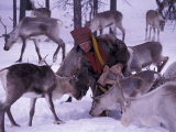 Farmer Feeds Reindeer, Lappland, Finland Photographic Print by Nik Wheeler