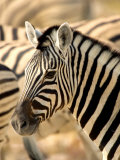 Zebra at Namutoni Resort, Namibia Photographic Print by Joe Restuccia III