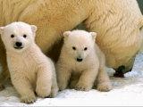 Two Polar Bear Cubs Keep an Eye on the Photographer as Their Mother Licks the Snow at Hogle Zoo Photographic Print