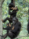 Young Male Chimpanzees Play, Gombe National Park, Tanzania Photographic Print by Kristin Mosher