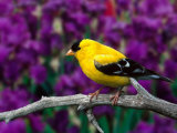 American Goldfinch in Summer Plumage Photographic Print by Adam Jones