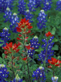 Texas Bluebonnet and Indian Paintbrush, Texas, USA Photographic Print by Claudia Adams