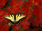 Tiger Swallowtail on Maple Leaves, Michigan, USA Photographic Print by Claudia Adams