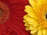Gerbera Fotografie-Druck von Daisy Gilardini