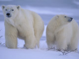 Polar Bear Mother and Cub in Churchill, Manitoba, Canada Fotografisk trykk av Theo Allofs