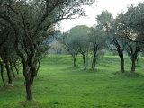 Olive Trees at St-Paul-de-Mausole Monastery, St. Remy De Provence, France Photographic Print by Lisa S. Engelbrecht