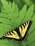 Tiger Swallowtail on Fern, Houghton Lake, Michigan, USA Photographic Print by Claudia Adams