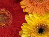 Gerbera Photographic Print by Daisy Gilardini