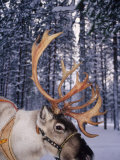 In Santa Claus&#39;s Country the Reindeers Abound, Lapland, Finland Photographic Print by Daisy Gilardini