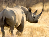 Black Rhinoceros at Halali Resort, Namibia Lmina fotogrfica por Joe Restuccia III