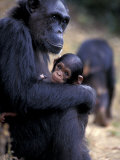 Female Chimpanzee Cradles Newborn Chimp, Gombe National Park, Tanzania Photographic Print by Kristin Mosher