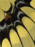 Swallowtail Butterfly Wing Detail, Michigan, USA Photographic Print by Claudia Adams