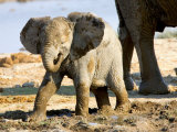 Baby African Elephant in Mud, Namibia Photographic Print by Joe Restuccia III