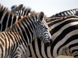 Black and White Stripe Pattern of a Plains Zebra Colt, Kenya Photographic Print by William Sutton