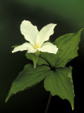 Four Petal White Trillium, Wilderness State Park, Michigan, USA Photographic Print by Claudia Adams