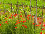 Poppy Field, Krk, Croatia Photographic Print by Russell Young