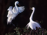 Great Egret in Courtship Display Photographic Print by Charles Sleicher