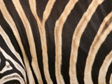 Zebra, Australia Photographic Print by David Wall
