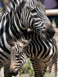 A Male Baby Zebra Named Roger Photographic Print