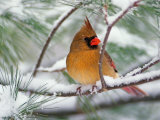 Female Northern Cardinal in Snowy Pine Tree Photographie par Adam Jones